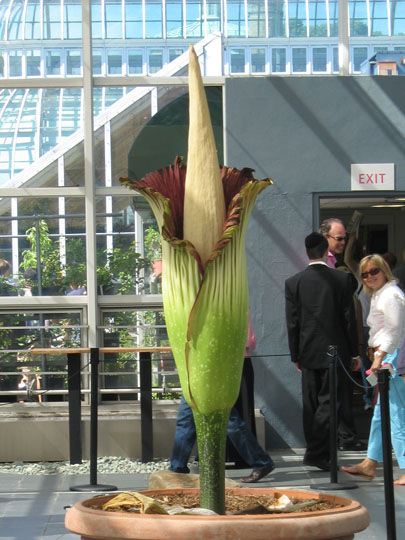 Brooklyn Botanic Garden Corpse Flower