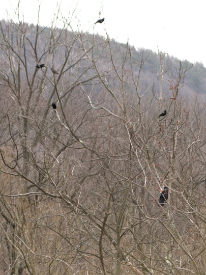 Blackbirds at Mystery Point
