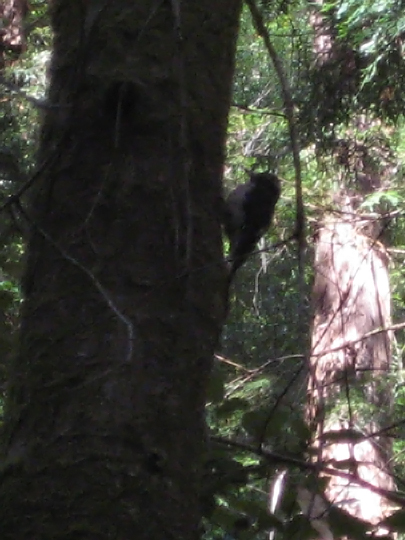 Hairy Woodpecker at Muir Woods