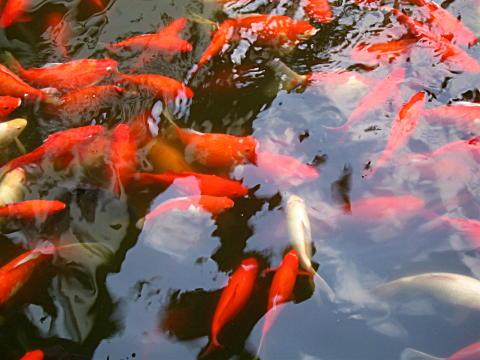Yuyuan Garden Goldfish