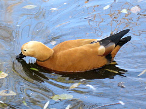 Beijing Zoo duck