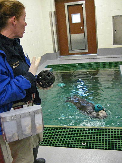 New York Aquarium isolation tank with sea otter