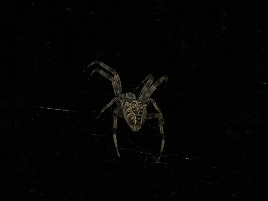 Cross orb weaver