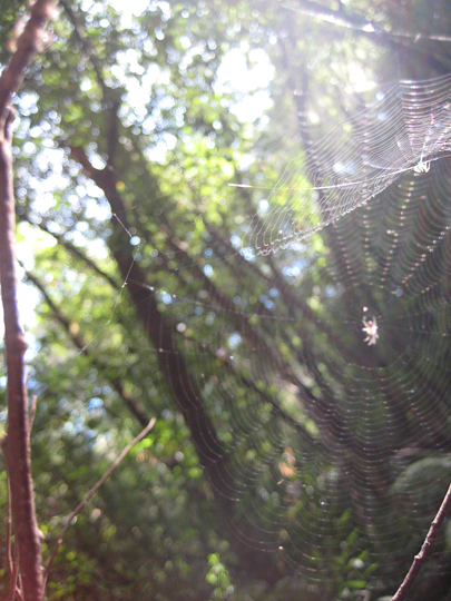 Spiders at Muir Woods
