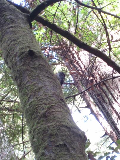 Hairy Woodpecker at Muir Woods